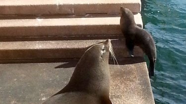 Seal of approval: two seals sun themselves on the Sydney Opera House steps.