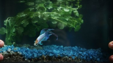 A Siamese fighting fish who has a much happier home than Bruce Lee did.