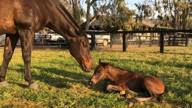 Black Caviar with her fourth foal, 22/9/17. Photo Supplied