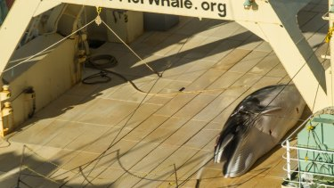 A Sea Shepherd helicopter has tracked Japan's whaling fleet.