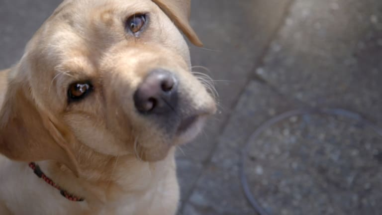 Pick of the Litter follows a litter of labrador pups aiming to become guide dogs.