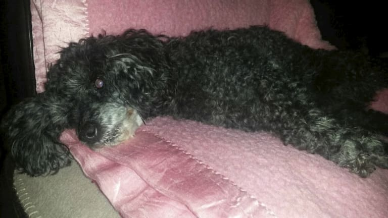 Lily the poodle was killed on June 26. The picture was taken the day before the attack.