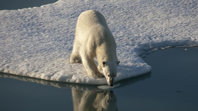 Record low sea ice in the Arctic has an impact on species such as polar bears which need it to survive.