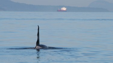 A male orca uses echo-location to find his favourite food, chinook salmon, in Haro Strait, Washington State.