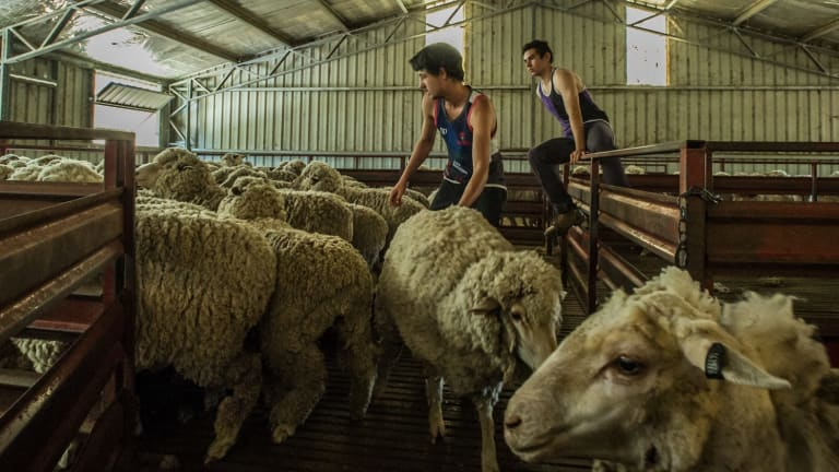 As the price of wool hits a record-high of $18 per kilogram, the Australian wool industry is enjoying a Renaissance.