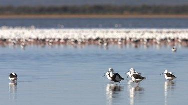 Banded stilts travel vast distances to breed in desert salt lakes.