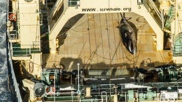 Japan's giant abattoir ship Nisshin Maru with a harpooned minke whale on the deck in January.
