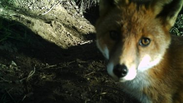 A fox gets up close and personal with Dave Reid's s trail camera in the Gigerline Nature Reserve near Tharwa in 2012.