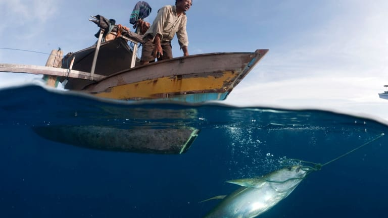 Small outrigger boat with fisherman pulling up a newly caught yellowfin tuna by hook and line, Gorontalo, North Sulawesi, Indonesia.