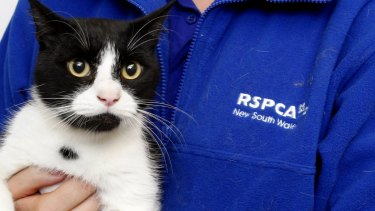 NCH NEWS Picture of Ian the cat. Rutherford RSPCA, Rutherford. There are lots of cats that are up for adoption at the RSPCA. 1st March 2013 Newcastle NCH NEWS PIC JONATHAN CARROLL