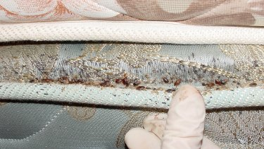A bed bug colony on a mattress.