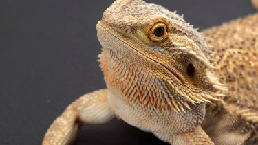 An Australian bearded dragon, Pogona vitticeps.