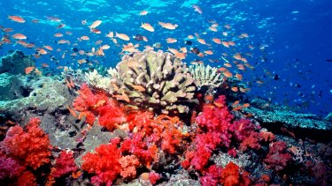 Anthias fish swim among soft corals and hard corals during healthier conditions off Fiji.