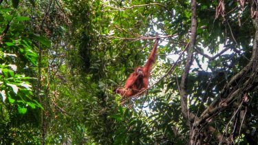 A male orangutan in the wild at Gunung Leuser National Park on Sumatra.