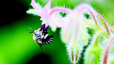 A bee gets down to business in an image from <i>The Bee Friendly Garden</i>, by Doug Purdie.