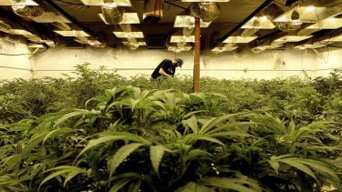 The Andrews Government is preparing to announce a cannabis 'cultivation trial' in Victoria.