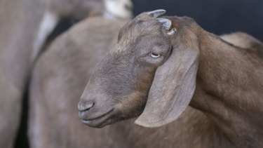 The two men were charged following a six-month investigation into the theft and fraudulent sale of goats. (File photo)