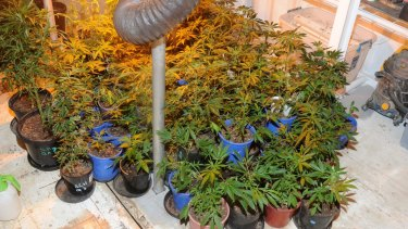 Some of the cannabis plants allegedly discovered at the property.