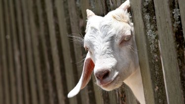 Christmas Goat.Why You Shouldn T Give A Goat This Christmas
