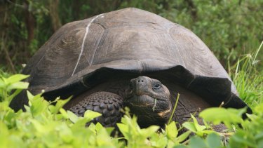 A new species of tortoise, named <em>Chelonoidis donfaustoi,</em> has been discovered in the Cerro Fatal region of Santa Cruz island in the Galapagos Islands.