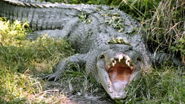 A man is recovering in hospital after a crocodile attack at Innisfail.