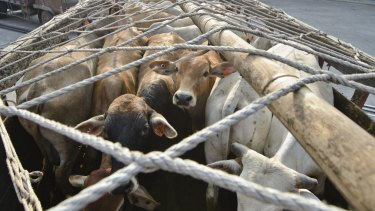 A shipment of Australian cattle arrives at the Indonesian port of Tanjung Priok in North Jakarta in 2013.