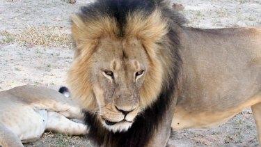 Cecil strolls around in Hwange National Park in Zimbabwe.