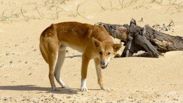 A dingo on Fraser Island.