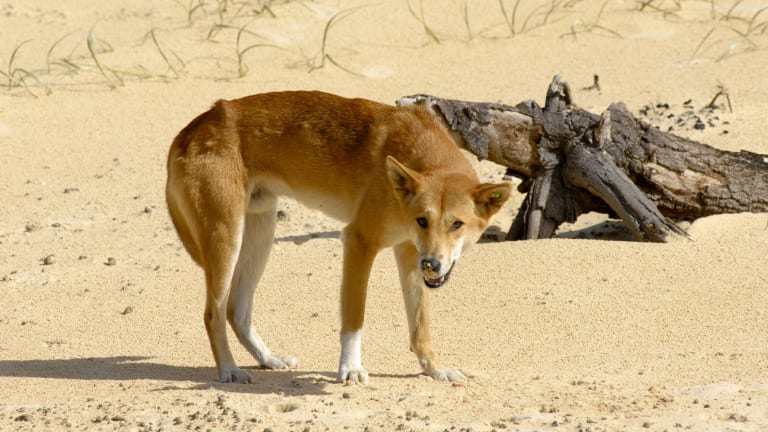 A dingo on Fraser Island.