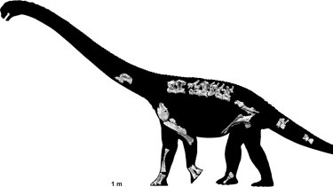 A skeletal reconstruction of the new dinosaur, based on the fossils found.