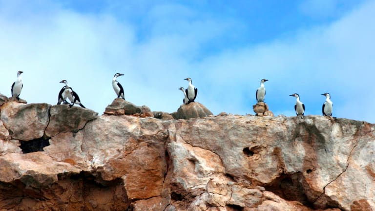 Pied cormorants on Dirk Hartog Island, WA. Preservation of native species is the declared objective of the GBIRd project.