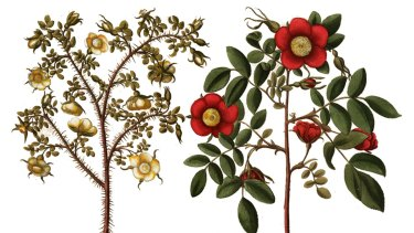 Rosa species by Basilius Besler. Roses spring up more than 100 times in Shakespeare's plays.