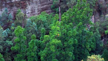 An aerial view of the original site of Wollemi pines showing mature trees up to 40 metres tall.