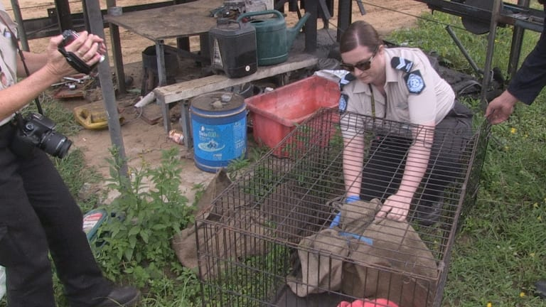 A photo from an RSPCA raid in Queensland.