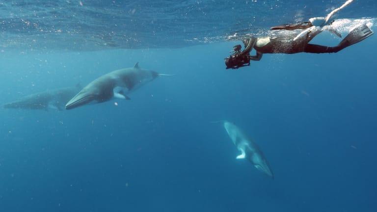 Dwarf minke whales on the Great Barrier Reef.
