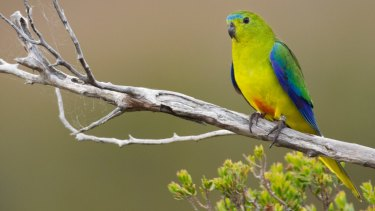 The survival to the orange-bellied parrot depends on the females turning up to breed and so far none have.