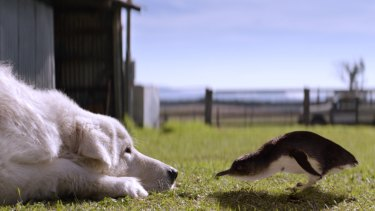Kai, the maremma star, and Chip, the penguin star, in the family comedy-drama <i>Oddball</i>.