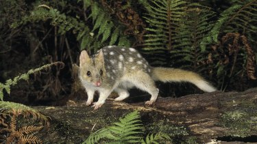 Great pets: An eastern quoll, spotted in Tasmania.