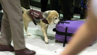 A quaratine inspection dog at work.
