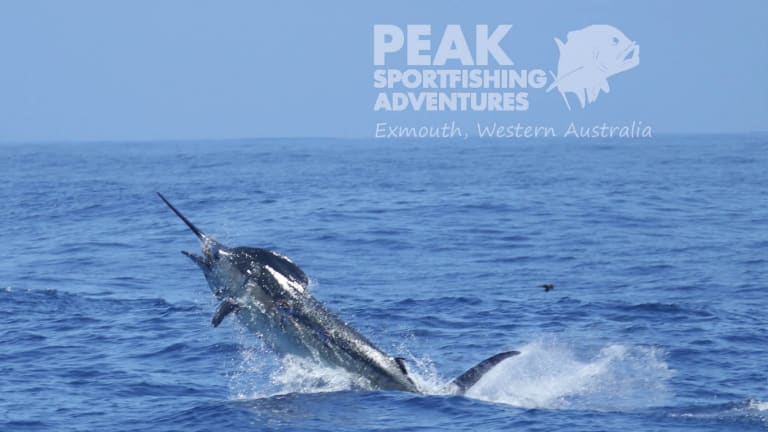 The blue marlin caught on Monday.