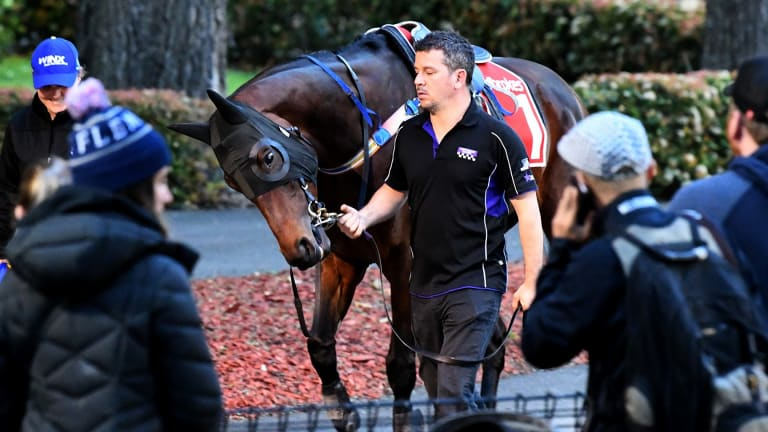 Runaway favourite: Winx is taken for a walk before a trackwork session at Moonee Valley.