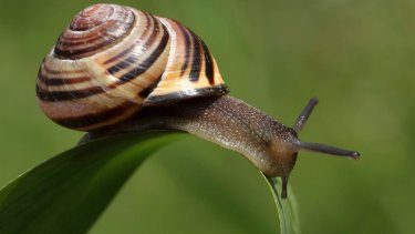 While Koreans put snail slime on the map, it's Chileans who get the credit for discovering its apparent benefits.