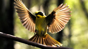 The helmeted honeyeater.