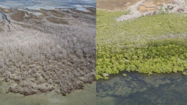 Before and after photograph of the massive dieback along the Gulf of Carpentaria.