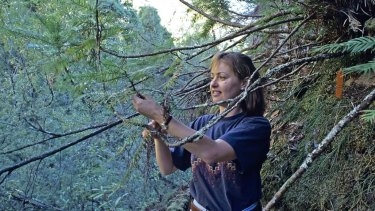 Dr Cathy Offord in 1994 at the site of the then recently discovered Wollemi pine in the Blue Mountains.
