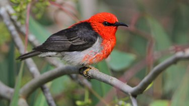 The scarlet honeyeater has been reported in unprecedented numbers in Victoria this spring.
