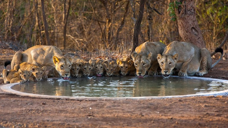 In the past 100 years the number of Asiatic lions has increased from 20 to more than 520.