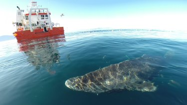Greenland shark after it was released from a research vessel.