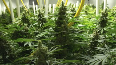 Queensland Health Minister Cameron Dick has supported a medical marijuana trial in NSW.