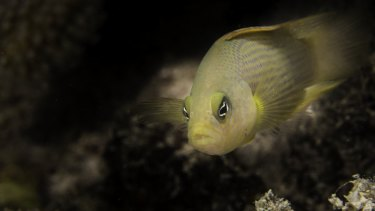 Damselfish were used in the study that found coral bleaching masks the scent of predators.
